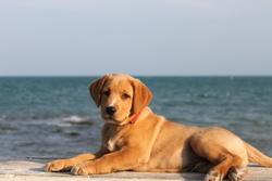 Sharky, chien Labrador Retriever