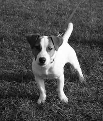Fidji, chien Jack Russell Terrier