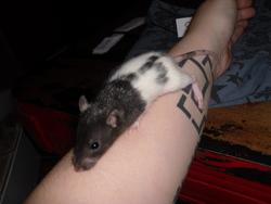Princess Saw Ii, rongeur Rat