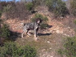 Flicka, chien Braque allemand à poil dur