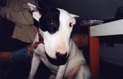 Sista, chien Bull Terrier