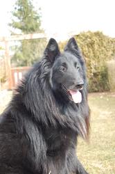 Kuma, chien Berger belge