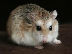 Gabi, rongeur Hamster
