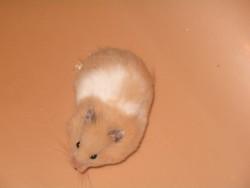 Looping, rongeur Hamster