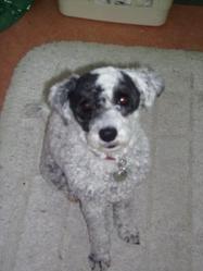Maya L Abeille , chien