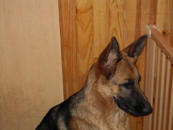 Fitzi, chien Berger allemand