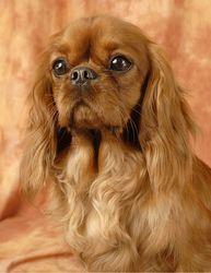 Divine Idylle, chien Cavalier King Charles Spaniel