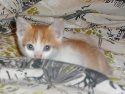 Kitkay, chat Européen