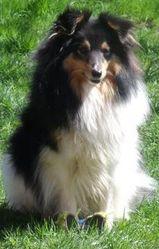 Edgarmelind, chien Berger des Shetland