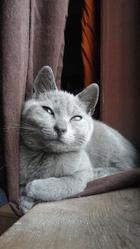 Fantasio, chat Chartreux