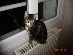 Tom Tom, chat Européen
