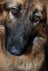 Yuna, chien Berger allemand
