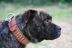Virat, chien Dogue de Majorque