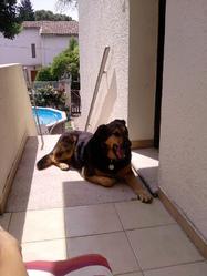 Eween, chien Beauceron