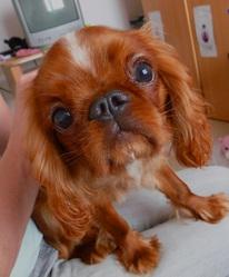 Caramel, chien King Charles Spaniel