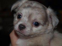 Grafiti, chien Chihuahua