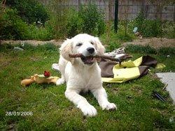 Shayna, chien Golden Retriever