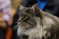 Cashmir Royaume De Gaia, chat Maine Coon