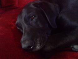Mouss, chien Labrador Retriever