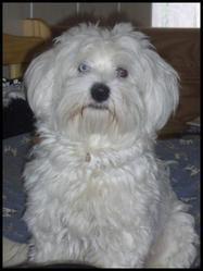 Bartholomé, chien Bichon maltais