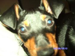 Johny, chien Pinscher