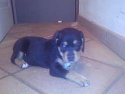 Gandja, chien Rottweiler