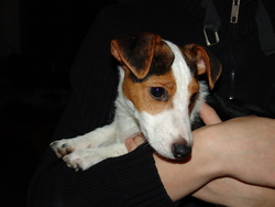 Edge, chien Jack Russell Terrier