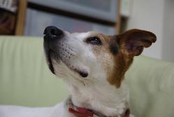 Kenzo, chien Jack Russell Terrier