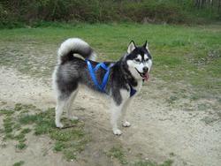 Bahika, chien Husky sibérien