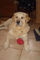 Ulis, chien Golden Retriever
