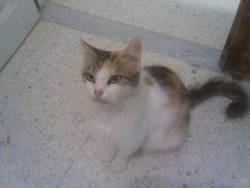 Mau, chat Angora turc