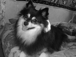 Lina, chien Spitz allemand