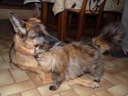 Tiako, chien Berger allemand