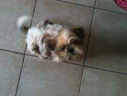 Mia, chien Shih Tzu
