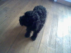 Filou, chien Caniche