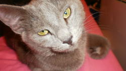 Tya, chat Chartreux