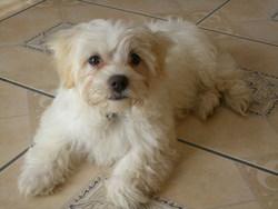 Happy, chien Coton de Tuléar
