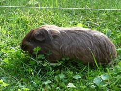 Dakota, rongeur Cochon d'Inde