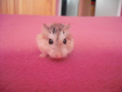 Lili, rongeur Hamster