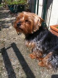 Nana, chien Yorkshire Terrier