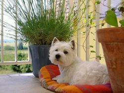 Pinprenelle, chien West Highland White Terrier