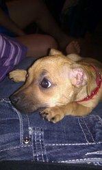 Ti-Fille, chien Chihuahua