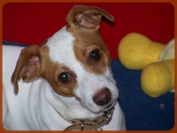 Zack, chien Jack Russell Terrier