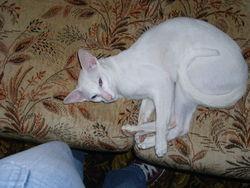 Daîko, chat Oriental