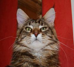 Diego De Brocéliande, chat Maine Coon
