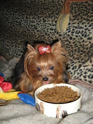 Riviera, chien Yorkshire Terrier
