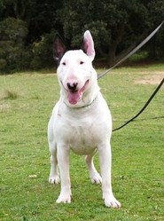 Fatche De Con, chien Bull Terrier