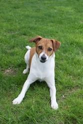 Dana, chien Parson Russell Terrier