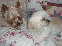 Cracotte, chien Yorkshire Terrier