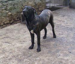 Elba, chien Fila brasileiro